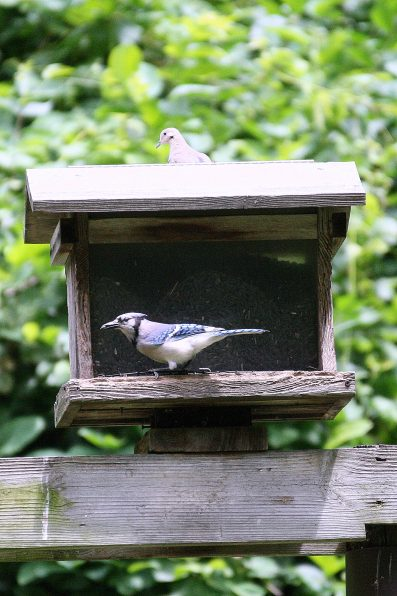 Blue Jay and Mourning Dove on house feeder