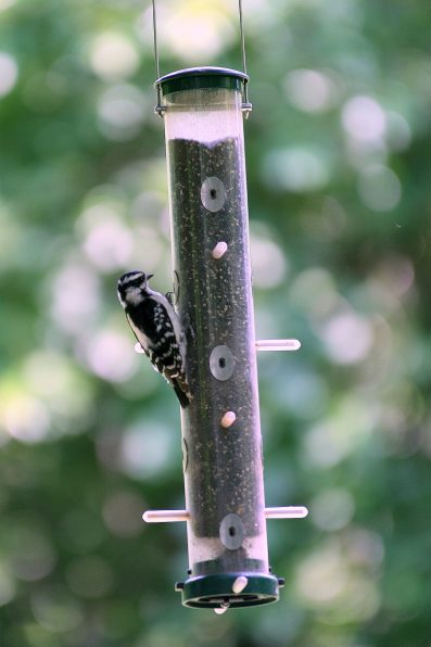 Downy Woodpecker on tube feeder