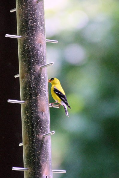 Goldfinch on Nyjer seed tube feeder