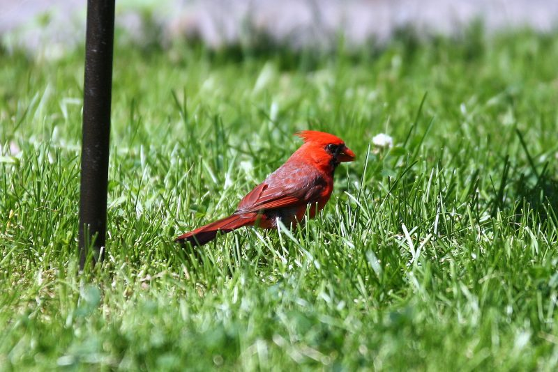 cardinal feeding on the ground