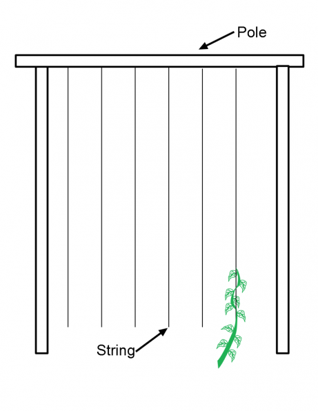 pole bean string support