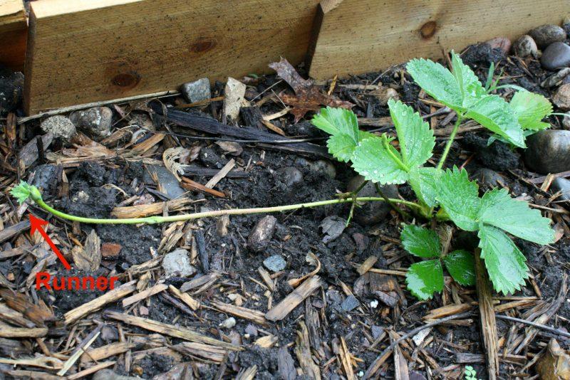 strawberry-runner