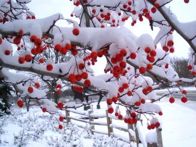 berry-tree-in-winter
