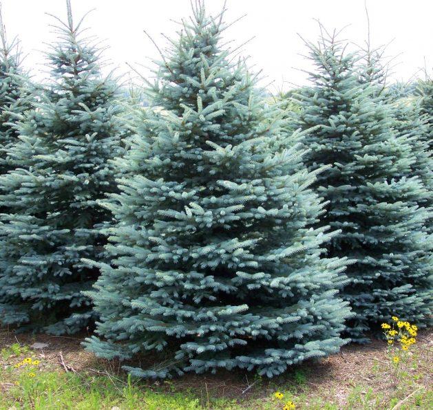 colorado-blue-spruce