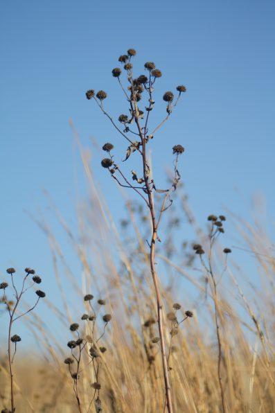 winter-coneflower