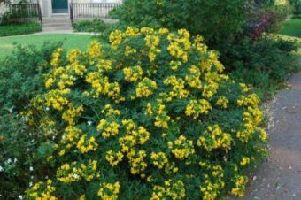 A guide to choosing and caring for flowering shrubs cassia the shrub that can grow into a small tree has yellow blooms during the early winter it requires a sunny side of the garden and can fill your garden mightylinksfo