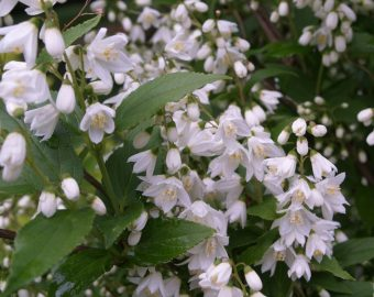A guide to choosing and caring for flowering shrubs acradenia frankliniae a tasmanian evergreen shrub is also a spring bloomer they have small white flowers appearing in their terminal clusters mightylinksfo