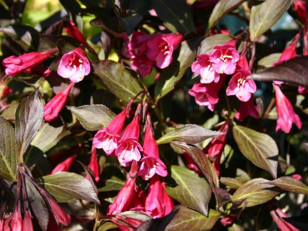 A guide to choosing and caring for flowering shrubs wine and roses alexandra mightylinksfo
