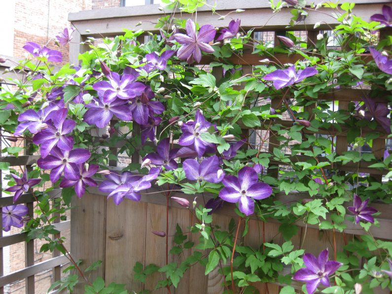 clematis is a vining flower that grows in zones 4 through 8 blossoms grow to about 5 inches in diameter with 6 or seven petals some varieties have smaller - Vining Flowers