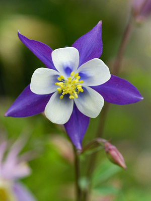 Summer perennial flowers columbine is a domesticated wildflower featuring a star shaped flowers with lobes and long spurs available in many colors this flower begins blooming in mightylinksfo