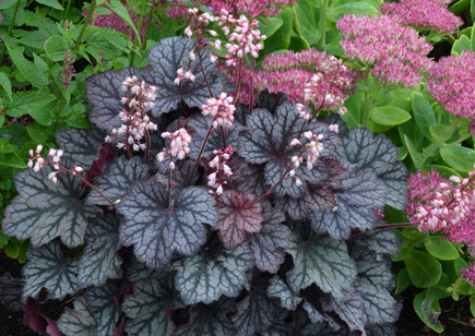Summer perennial flowers heuchera is a shade loving ground cover that is resistant to deer and rabbits the foliage of the plant comes in a variety of colors from yellow to black mightylinksfo Choice Image