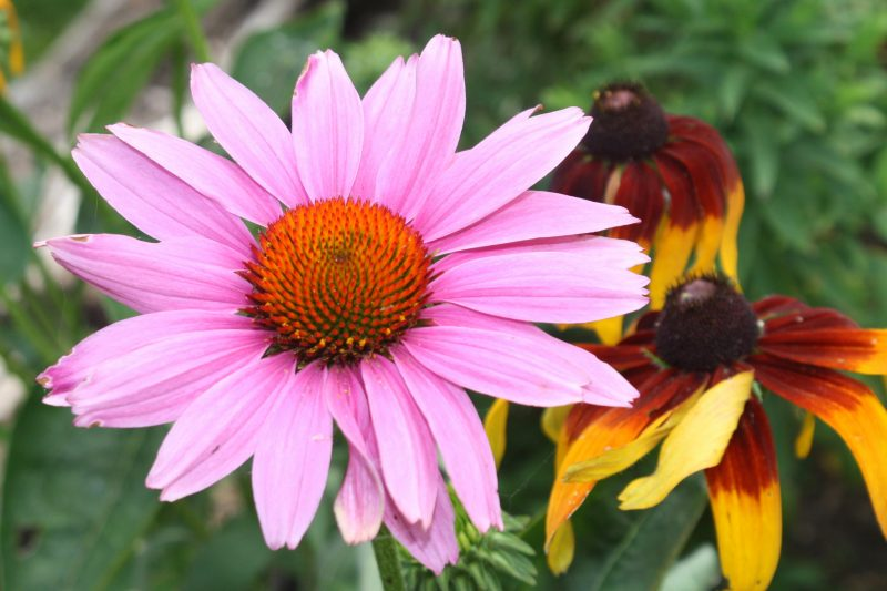 Summer perennial flowers the purple coneflower is a prairie wildflower native to the united states and grows in zones 3 to 9 the flowers grow on tall sturdy stems and have purple mightylinksfo