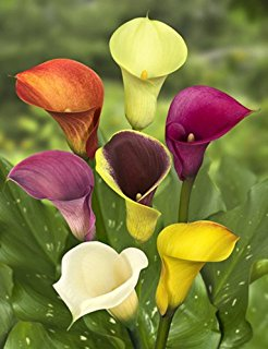 6 plants that make beautiful easter gifts considered a romantic flower calla lilies can commonly be found at easter in vases or cut flower arrangements their foliage consists of luxurious negle Choice Image