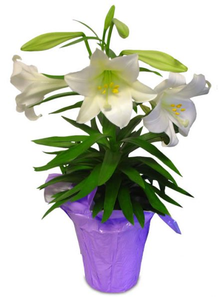 6 plants that make beautiful easter gifts find great deals on easter lilies at ftd negle Choice Image