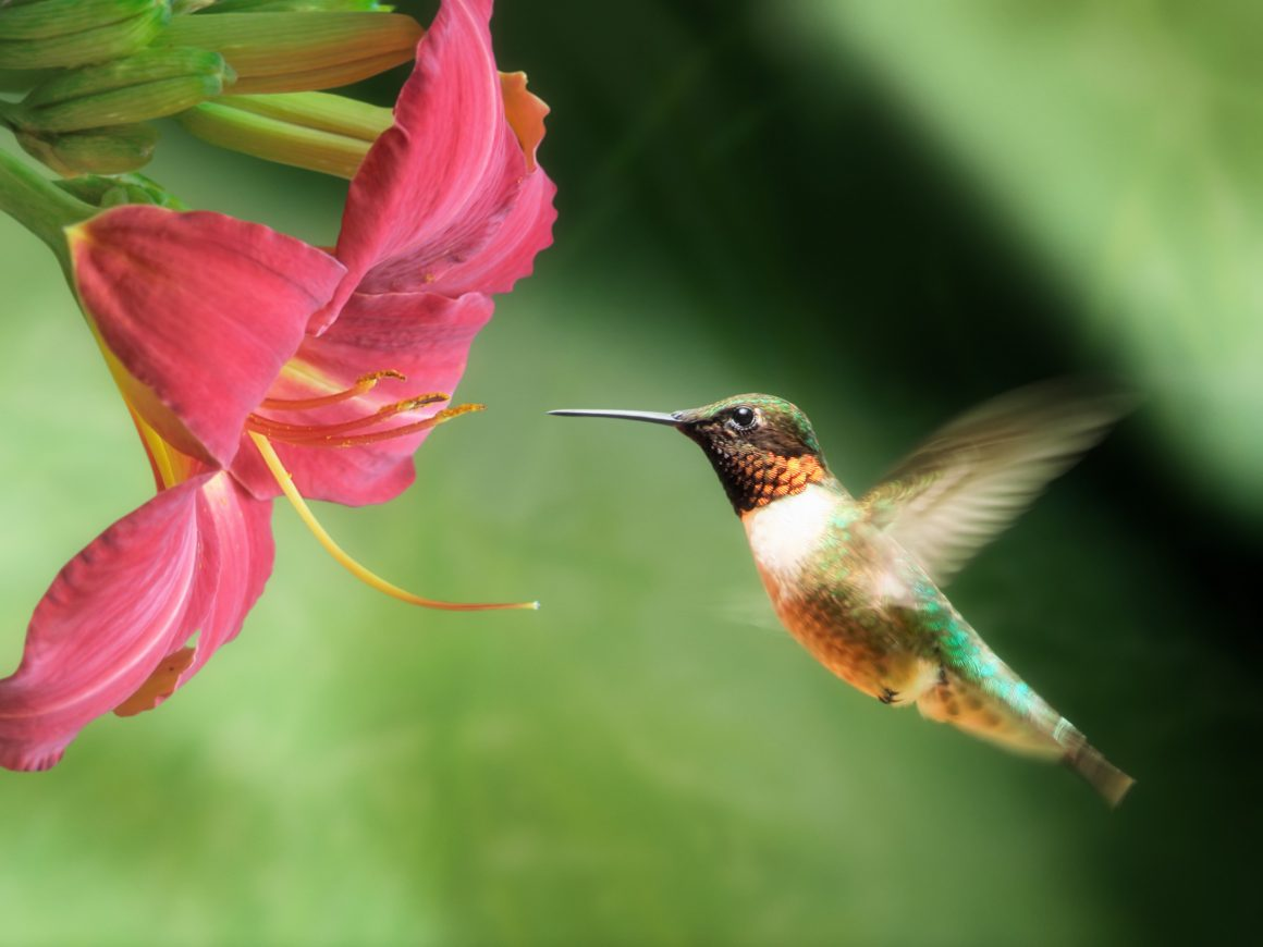 How To Invite Hummingbirds To Your Yard