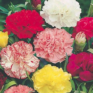 As The Birth Flower For November Chrysanthemum Is One Of Most Colorful Flowers That Blooms In Fall A Season S Known Having Only Few