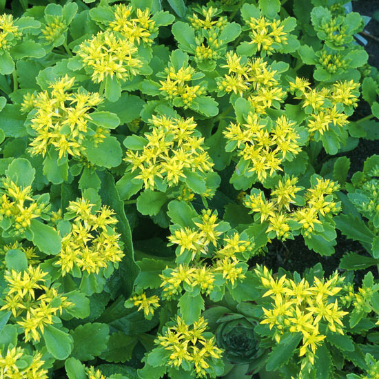 Best plants for groundcover sedum is a large category of plants that are excellent for low water locations there are tall varieties as well as creeping varieties that produce dense mightylinksfo