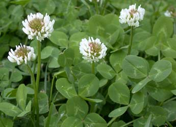 11 common lawn weeds to destroy before sowing new grass they have little white flowers that often attract bees and other insects there are many kinds of clover and the most commonly occurring one is the white mightylinksfo