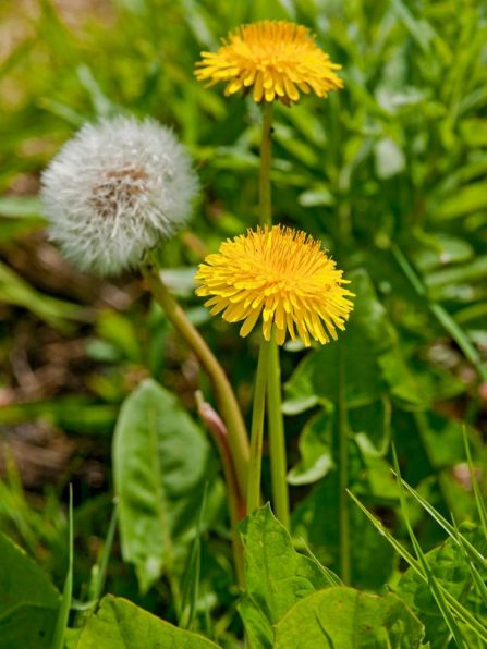 11 common lawn weeds to destroy before sowing new grass they have yellow flowers which turns into white puffballs of seeds when fully mature they easily spread during the summer and grow well during the next mightylinksfo