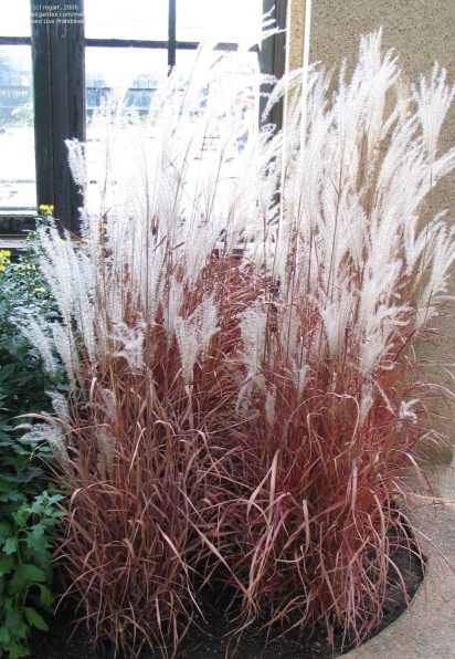Tall Ornamental Grass 13 best ornamental grasses this species of ornamental grass grows to about 3 to 6 feet tall with coarse thick foliage the long arching blades stay clumped workwithnaturefo