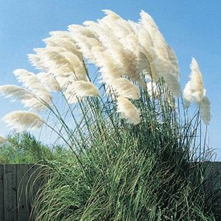 13 best ornamental grasses for Ornamental grass with white plumes