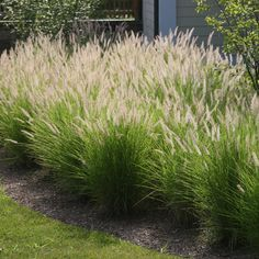 Tall Ornamental Grass Varieties 13 best ornamental grasses these color ornamental grass can grow from 12 inches to 3 feet tall they are easily adaptable and require limited maintenance though fountain grass grows workwithnaturefo