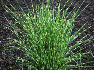 13 best ornamental grasses for Grass looking shrubs